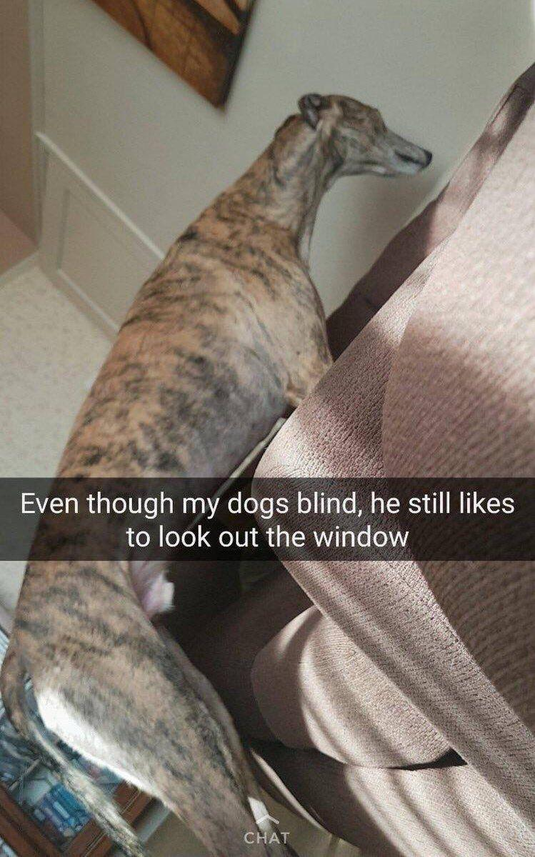 blind greyhound stares at wall